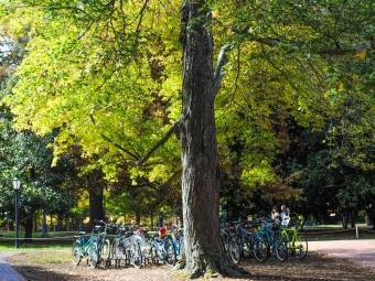 Bikes lined up under a large tree